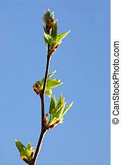 Spring leaf - Backlit young spring leaves on blue sky...