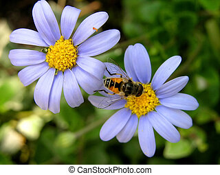two blue flowers and bee - two blue flowers, yellow center,...