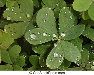 Trefoil with rain drops in the morning