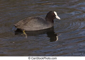 Eurasian coot 2 - An eurasian coot reflected in blue water.