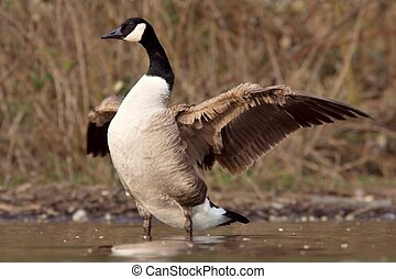 Canadian goose with widened wings - A Canadian goose...