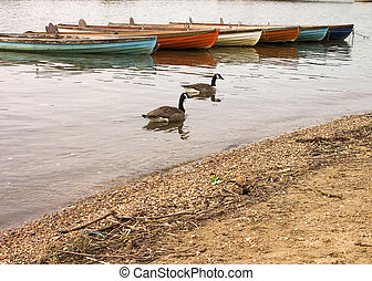 Row boats and geese - A collection of old wooden boats with...