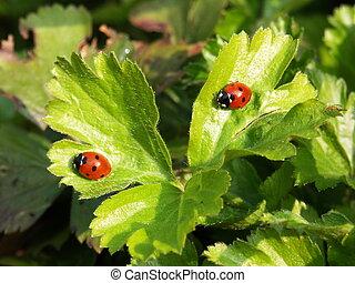 Two ladybugs - Macro of two ladybugs on a garden plant