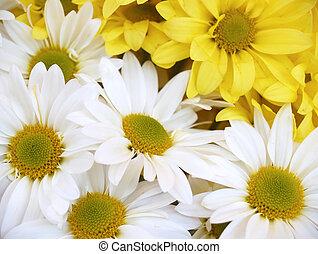 daisies - chrysanthemum maximum - daisies