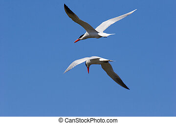 Side by side - caspian terns