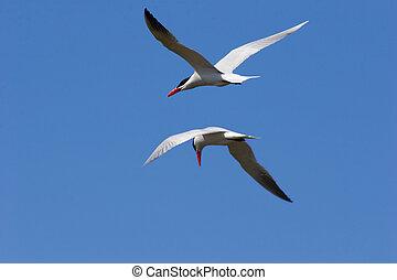 Side by side - caspian terns
