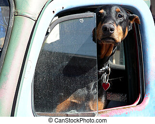 Defensive Driving - Doberman hanging out of the drivers side...