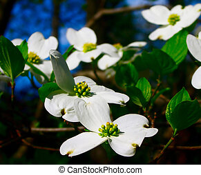 flowering dogwood - flowering eastern dogwood found in a...
