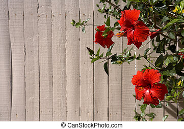 Hibiscus Red flowers against a pink painted wooden fence,...