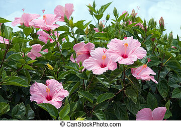 Tropical Hibiscus - Florida pink Hibiscus blooms