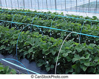 Strawberry culture in a glasshouse