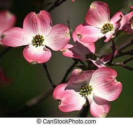 Pink Dogwood Blooms Closeup
