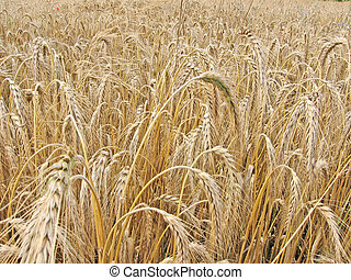field of wheat 1 - Field of wheat
