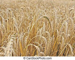 campo, trigo, 1