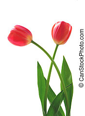 Two pink tulips on white background