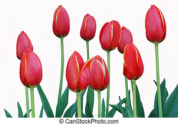 Tulips on White - Isolated image of red tulips on white