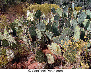 Flat Cactus - A thorny bed of Arizona flat cactus basks in...