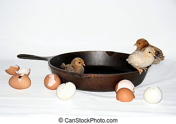 broken eggs - baby chicks in iron skillet, broken eggshells...