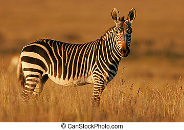 Cape Mountain Zebra - Endangered Cape Mountain Zebra Equus...