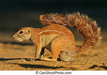 Ground squirrel - A male ground squirrel Xerus inaurus,...