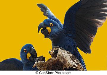 salvaje, azul, jacinto, papagallo, Pantanal, brasil