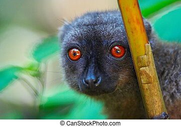 Wild brown lemur, Madagascar