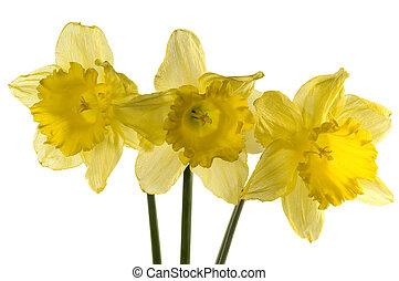 daffodils - daffodil over white