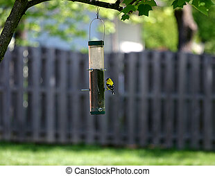 Yellow Finch - Yellow finch sitting at bird feeder