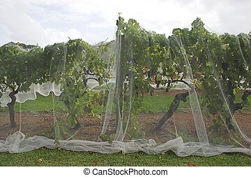 Grape Net 4 - Grapevines under protective netting