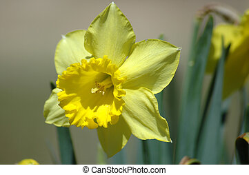 Jonquil - The first spring jonquil peeks up into the...