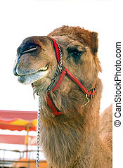 Circus camel. - Circus camel under white tent.