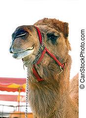 circo, camello