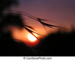 Silhouette of corn in the sunset