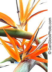 Chaotic Strelitzias - Strelitzia flowers over white; A...