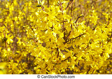 spring time - yellow blossoms of a bush