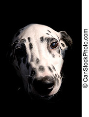 Dog 2 - Cute Dalmatian dog female puppy closeup portrait...