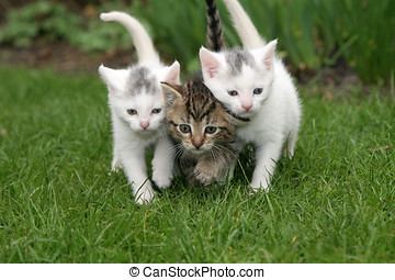 Staying close together - Small kittens walking in the garden...