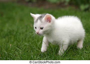 Little kitten carefully taking first steps - Little white...