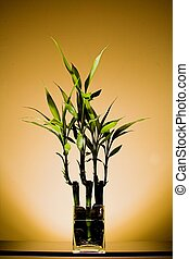 Bamboo Plant - Bamboo plant on table in clear water