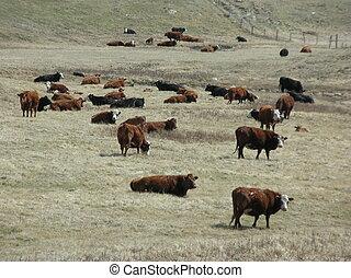 herd of cattle - a herd of cattle in a field