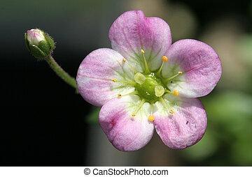 粉紅色, 花
