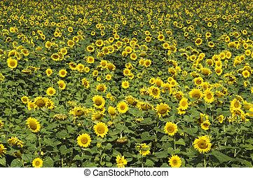 sunflower field #3 - field of sunflowers