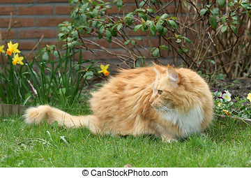 Red longhaired cat - Beautiful red longhaired cat in the...