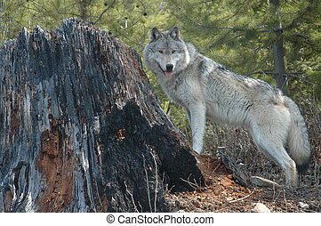 Wolf and Stump - Grey wolf standing beside a tree stump.