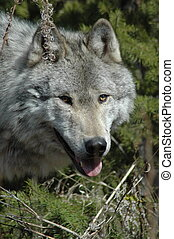 Wolf Face - Face shot of a grey wolf in the Canadian Rocky...