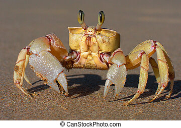 Sand crab - Alert sand crab on sandy beach, southern Africa