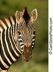 Zebra portrait - Portrait of a plains zebra, South Africa