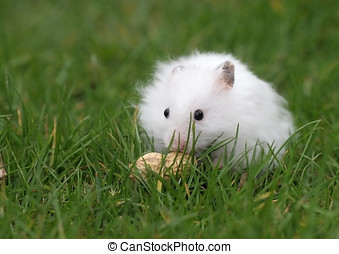 Hamster found a peanut - Little white hamster finds...