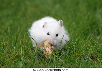 Snacking on a peanut - White hamster eating a peanut while...