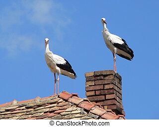 storks - white storks